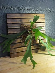 The finished, newly mounted staghorn fern. Your fern will do best with indirect, filtered sun and high humidity. Water about once a week, al. Air Plants, Garden Plants, Indoor Plants, Indoor Gardening, Vegetable Gardening, Potted Plants, Tropical Garden, Tropical Plants, Staghorn Fern Mount
