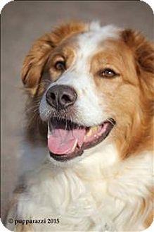 Duluth, MN - Collie Mix. Meet Jack, a dog for adoption. http://www.adoptapet.com/pet/13986407-duluth-minnesota-collie-mix