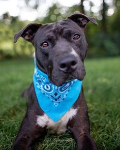 💚Kingston💙 is looking for his a home in Chester County, Pennsylvania! 🏠 To learn more about this gorgeous boy, email Rescue@LamanchaAnimalRescue.org with subject line: Kingston.  #AdoptPureLove Chester County, Awesome Dogs, Kingston, Pennsylvania, Animal Rescue, Best Dogs, Pitbulls, Adoption, Handsome