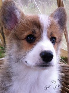 Sable and white Pembroke Welsh Corgi puppy