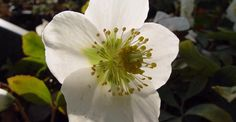 Helleborus niger op vasteplant.be