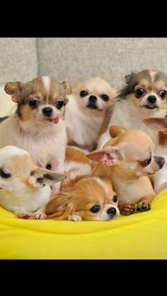 A sweet bundle of Chihuahuas