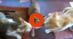 Three Cats and Meat
