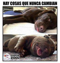 Durmiendo a pata suelta desde cachorrito I Love Dogs, Labrador Retriever, Puppies, Humor, Animals, Bb, Facebook, Instagram, Diy Dog