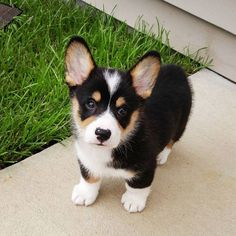 Moose the Corgi Instagram Cute, Adorable, Tri-Color Pembroke Welsh Corgi Puppy: