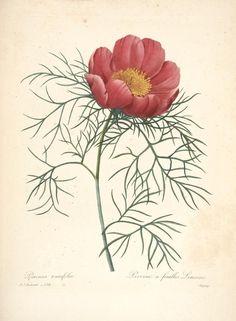 Choix des plus belles fleurs : Redouté, Pierre Joseph, 1833