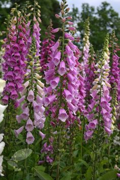 North facing cottage garden foxglove Excelsior Group Digitalis purpurea Excelsior Group: Delivery by Crocus