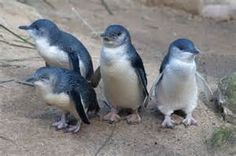 little penguin - Bing images