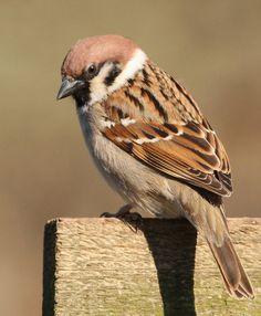 Tree Sparrow by Mandy West on Flickr.  Quelle: mockinggrass #bird #vogel #photography #fotografie