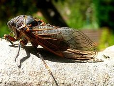 Cigale, Insectes, Nature