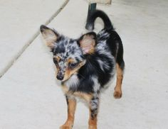 Blue Merle chihuahua with copper points. Love that color combo! tri colored chihuahua long hair