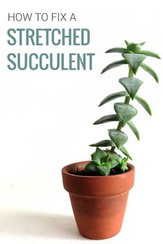 Is your succulent looking different? Is it growing tall and thin, and all stretched out? Why do succulents stretch? Learn why it happens and what to do to fix it. | Read more at modandmint.com | #succulents #propagating #indoorplants Tall Succulents, Propagating Succulents, Growing Succulents, Succulent Gardening, Succulent Care, Succulents Garden, Growing Plants, Gardening Tips, Planting Flowers