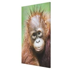 ==> reviews          Orangutan baby canvas prints           Orangutan baby canvas prints today price drop and special promotion. Get The best buyDeals          Orangutan baby canvas prints today easy to Shops & Purchase Online - transferred directly secure and trusted checkout...Cleck Hot Deals >>> http://www.zazzle.com/orangutan_baby_canvas_prints-192923090529907823?rf=238627982471231924&zbar=1&tc=terrest