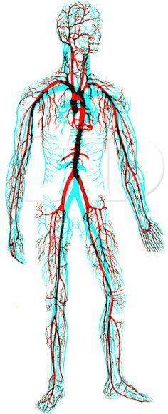 Veins Red, Arteries Blue. 4D anaglyph by Rev A Slade