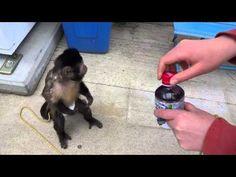 #Video Un mono se divierte comprando en la máquina expendedora
