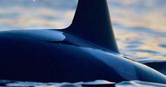 #Sea #Ocean #Animals www.pegasebuzz.com   Orca, orque, killer whale, black fish.  www.ShareMySea.fr