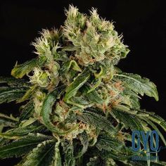 Dinafem Santa Sativa Feminised Weed Seeds: This one has a high sativa content and high THC levels – a wickedly heady concoction that makes for a powerful cerebral head high with a surprisingly gentle comedown. She grows really big so make sure you give her lots of space to achieve her full potential.