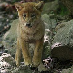 Je suis un bébé loup et j explorerai tout les terrier pour dire bonjour aux lapins mais sans les manger avant que je sois grand....