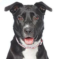 Los Angeles, CA - Border Collie/Labrador Retriever Mix. Meet Lady, a dog for adoption. http://www.adoptapet.com/pet/16898210-los-angeles-california-border-collie-mix