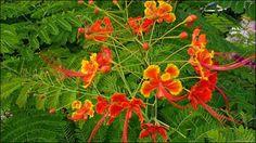 fleur du flamboyant