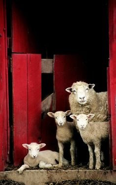 Moutons ~ Sheep Maybe not German but so CUTE Farm Animals, Animals And Pets, Cute Animals, Wild Animals, Beautiful Creatures, Animals Beautiful, Majestic Animals, Sheep And Lamb, Tier Fotos