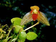 Bulbophyllum minutulum