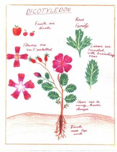 Waldorf ~ 5th grade ~ Botany ~ Dicotyledons ~ main lesson book