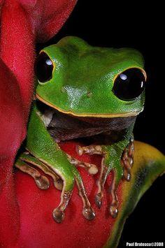 La grenouille extra-terrestre aux grands yeux noirs.
