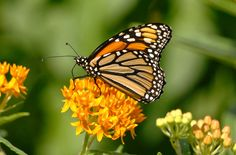 https://flic.kr/p/Wzc3SY | Monarch Butterfly