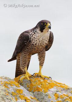 peregrine falcon - Google Search