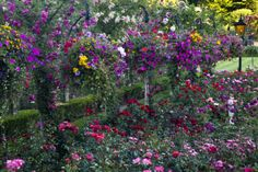 Rose Garden at Butchard Gardens in Full Bloom, Victoria, B.C., Canada by Terry Eggers