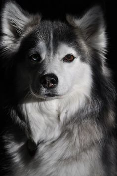 So we're not sure if anything's cuter in the world than Husky Mixes. Such a stunning breed in itself surely makes for a stunning cross breed right?