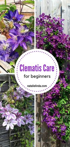 Even beginners can grow clematis vine. Use these simple tips and learn how to plant and care for clematis! Even beginners can grow clematis vine. Use these simple tips and learn how to plant and care for clematis! Clematis Care, Clematis Trellis, White Clematis, Clematis Plants, Purple Clematis, Clematis Flower, Climbing Clematis, Garden Trellis, Flowering Plants