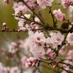 Die Mandelblüte an der südlichen Weinstraße