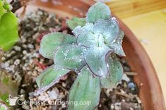 How to get rid of mealy bugs for good garden grandmother's remedies Container Gardening Vegetables, Succulents In Containers, Container Flowers, Container Plants, Vegetable Gardening, Plant Bugs, Plant Pests, Garden Pests, White Bugs On Plants