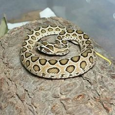 Russell Viper, this is like in the top five most deadly snakes in the world