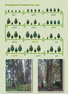 Paulownia Tree - Development Process of Paulownia plantations
