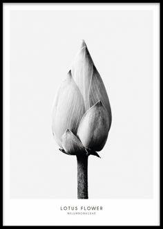 Lotus Flower, poster. Sort og hvid plakat med blomster. Posters og plakater. www.desenio.dk