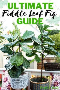 This is a comprehensive guide for fiddle leaf fig care! Learn about the best soil for your fiddle leaf fig, how to water a fiddle leaf fig, the growth rate of your plant, how to prune and propagate your plant, and what happens when you have fiddle leaf fig root rot or a fiddle leaf fig brown spot. With proper care and love, your fiddle leaf fig will thrive & bless your home with its glory! #fiddleleaffig #fiddleleaffigcare #fiddleleaffigguide #fiddleleaffigbrownspots #plants #craftsandbolts House Plants Decor, Plant Decor, Easy Garden, Herb Garden, Plant Crafts, Apartment Plants, Low Light Plants, Fiddle Leaf Fig, Container Gardening Vegetables