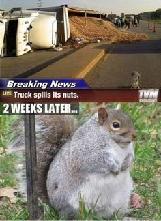 really large squirrel