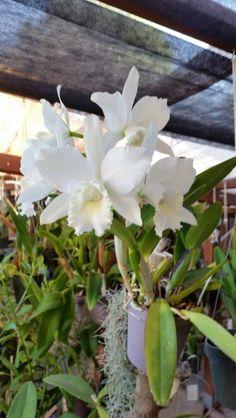 Virgin Hawaiian wedding catheleya orchids.