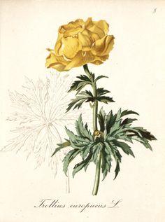 Trollius europaeus - circa 1839