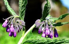 Widely known as the king of healing plants, comfrey is unsurpassed as a wound healer. But it also has an abundance of other healing, comforting uses. Comfrey Tea, Calendula, Loch Im Zahn, Shade Tolerant Plants, Wounded Healer, Garden Catalogs, Cold Frame, Spring Nature, Potting Soil