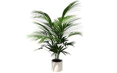 10 Non-Toxic House Plants: Keeping Your Pets Safe | 3. Areca or Golden Palm (Safe for Animals)
