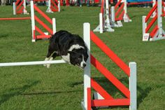 Teaching a dog to jump hurdles is necessary for a variety of dog sports including agility and obedience. However, even non-competitive dogs benefit from knowing how to jump. Hurdle training stimulates both the dog's body and mind, allowing him to have fun and burn off excess energy.