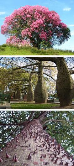 The palo borracho tree (drunk stick), as witnessed in the middle picture. The bottom picture show all the spikes the tree has from the ground up to the tiniest branch. When old, they supposedly lose the spikes on the trunk, Buenos Aires. Le Book, Cultural Capital, Famous Places, From The Ground Up, Where The Heart Is, Picture Show, Roots, Country, City