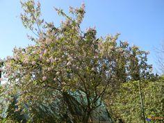 Buddleja officinalis / arbre à papillon officinale, floraison de janvier à avril