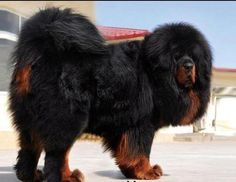 tibetan mastiff | Tibetan Mastiff | Big Dog Breeds 101