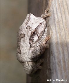 Gray Tree Frog (Hyla versicolor) Powell Gardens Johnson County, Missouri