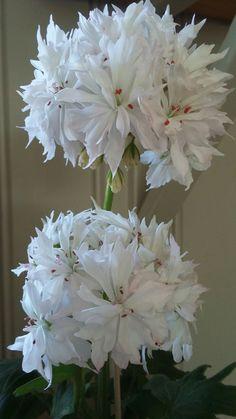 Snowbright pelargonium